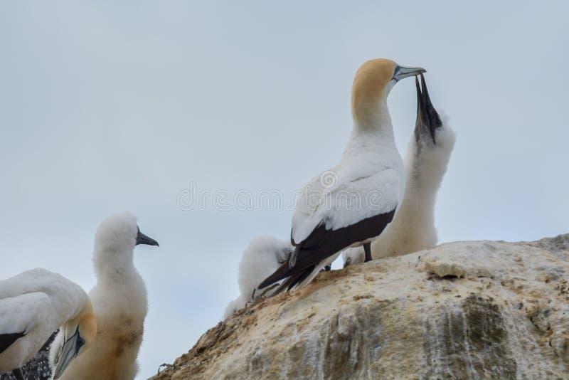 Dorosli gannet ptaki karmi ich offsprings na przylądków porywaczach obrazy stock