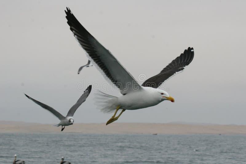 Dorosli Kelp frajery lata nad oceanem obrazy royalty free