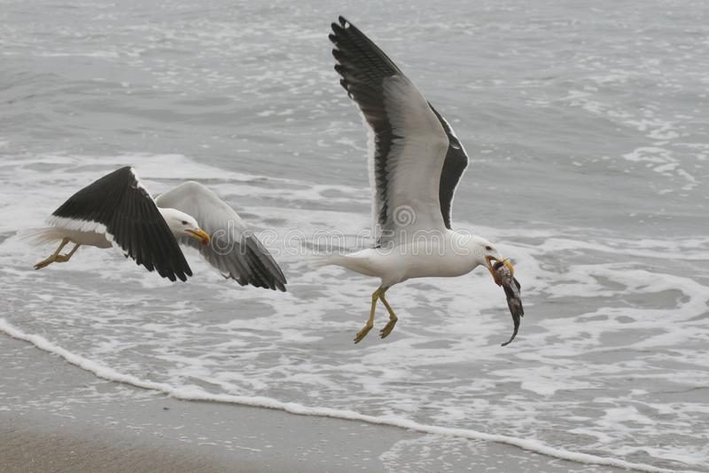 Dorosli Kelp frajery walczy nad ryba fotografia stock