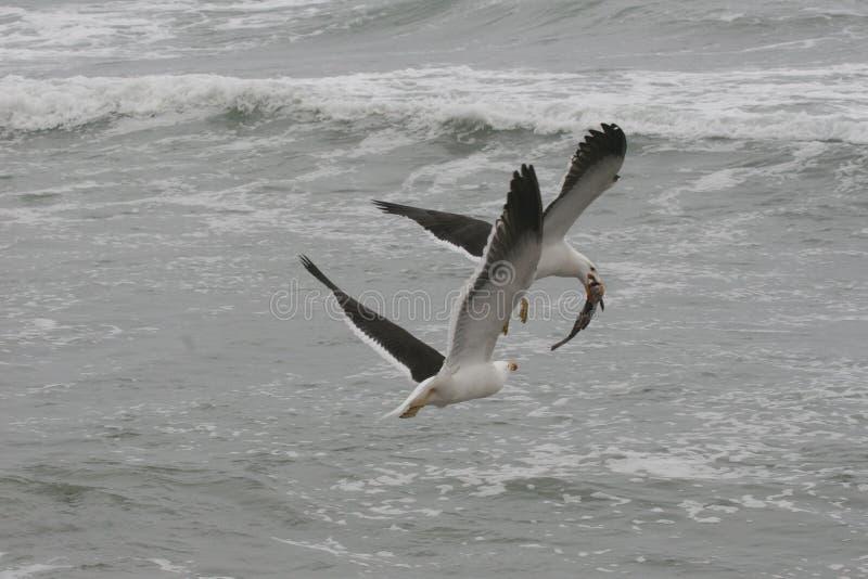 Dorosli Kelp frajery walczy nad ryba obraz stock