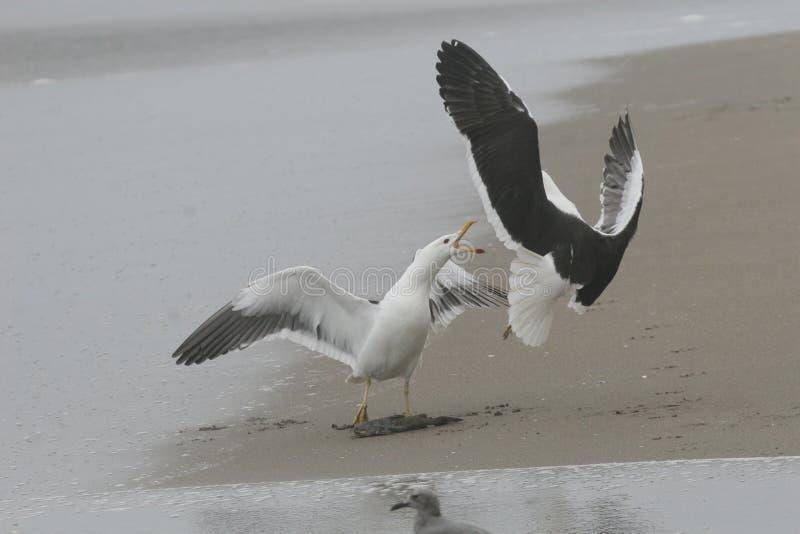 Dorosli Kelp frajery walczy nad ryba zdjęcie stock