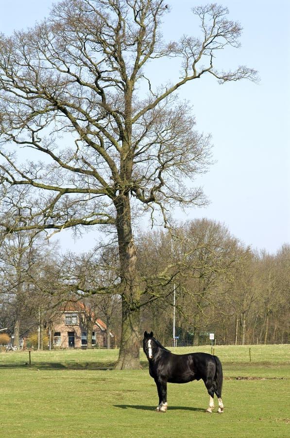 Dorp lige, paard in een weide, Nederland stock afbeeldingen