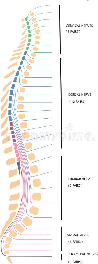 Dorsal backbone of human vertebral column.  royalty free illustration
