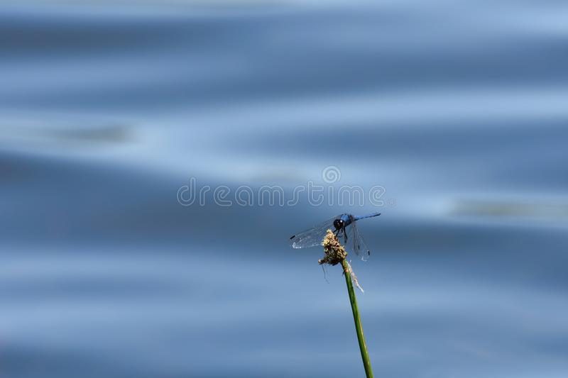 Dorsal Dropwing Dragonfly At Lake Trithemis dorsalis. A dorsal dropwing dragonfly Trithemis dorsalis perching on a lakeside sedge, Dullstroom, South Africa royalty free stock image