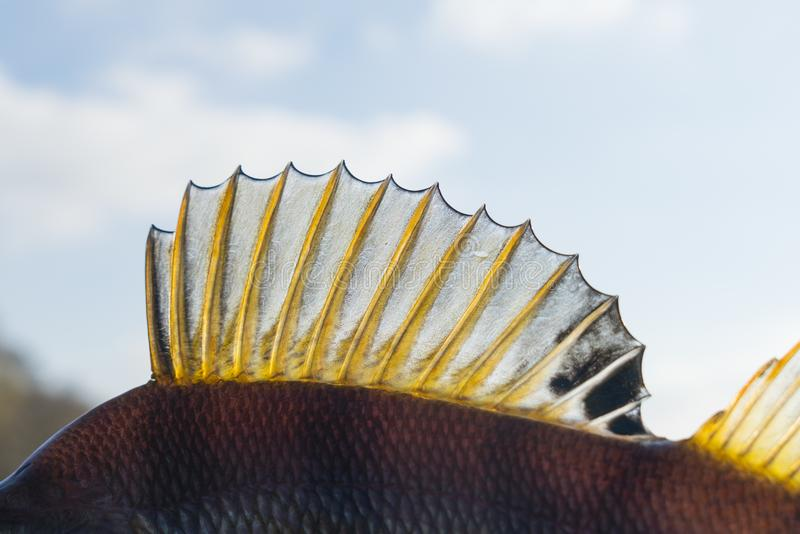 Dorsal fin of a perch. Back light royalty free stock photo
