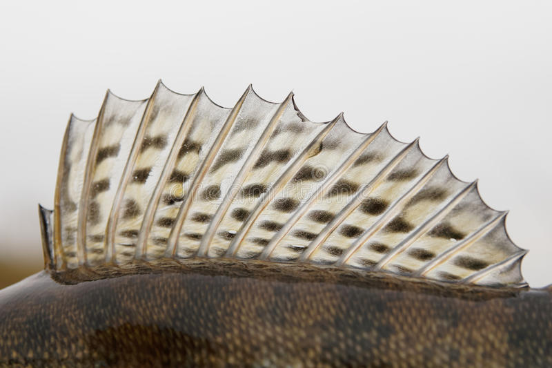 Dorsal fin of a walleye (pike-perch). Close-up stock photos