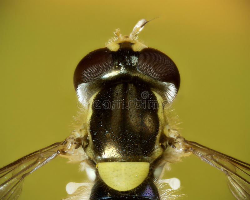 dorsal hoverfly zdradzony makro- malutki zdjęcia royalty free