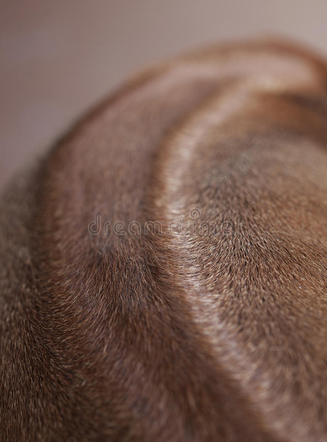 Dorsal of Rhodesian ridgeback dog. In studio royalty free stock image