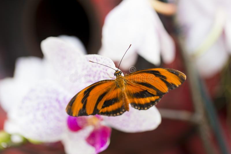 Dorsal view of Banded Orange Heliconian resting on a pale orchid flower. In soft focus background royalty free stock photography