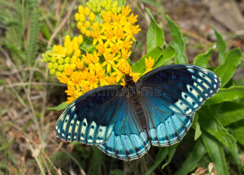 Dorsal view of a beautiful blue female Diana Fritillary, Speyeria diana. Feeding on yellow butterflyweed. This species is very rare throughout its range stock images