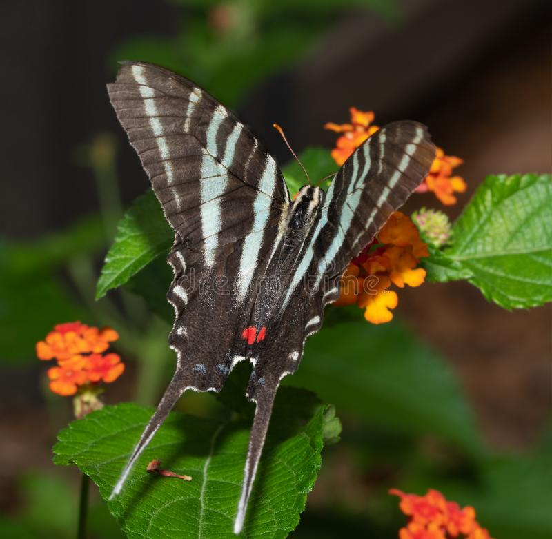 Dorsal view of a beautiful Zebra Swallowtail butterfly. Feeding on a Lantana flower royalty free stock photography