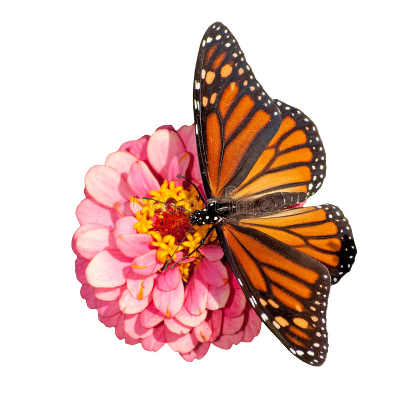 Dorsal view of a female Monarch butterfly. Danaus plexippus, feeding on a pink flower; on white background royalty free stock images