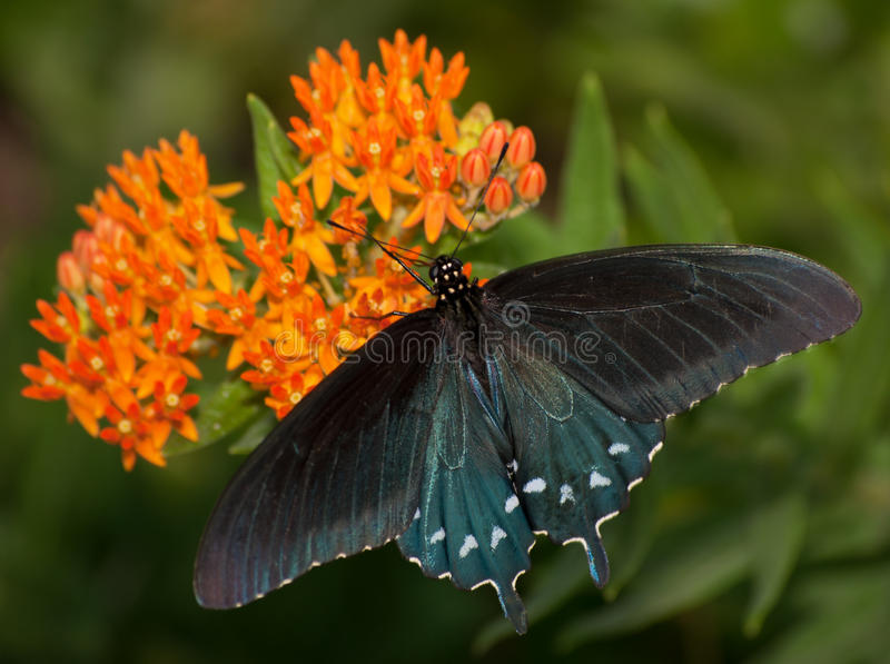 Dorsal view of a Green Swallowtail butterfly. On orange Butterflyweed stock images