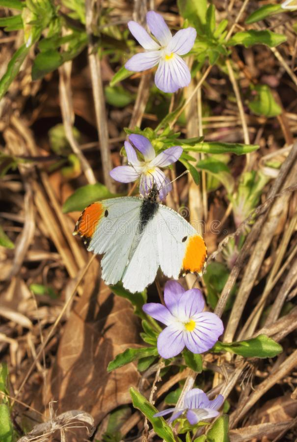 Dorsal view of a tiny male Falcate Orangetip butterfly feeding on an American Field pansy. In evening sun in early spring stock images