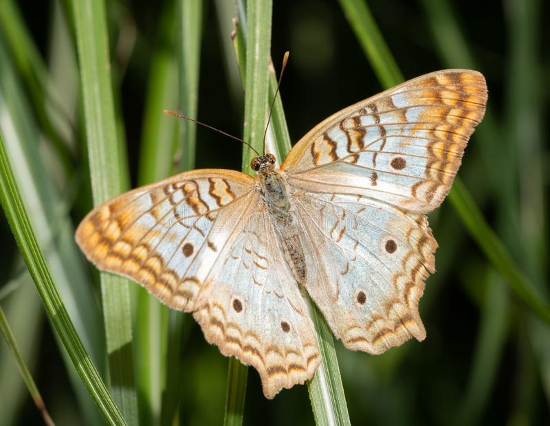 Dorsal view of a White Peacock butterfly. Resting on a blade of grass stock photos