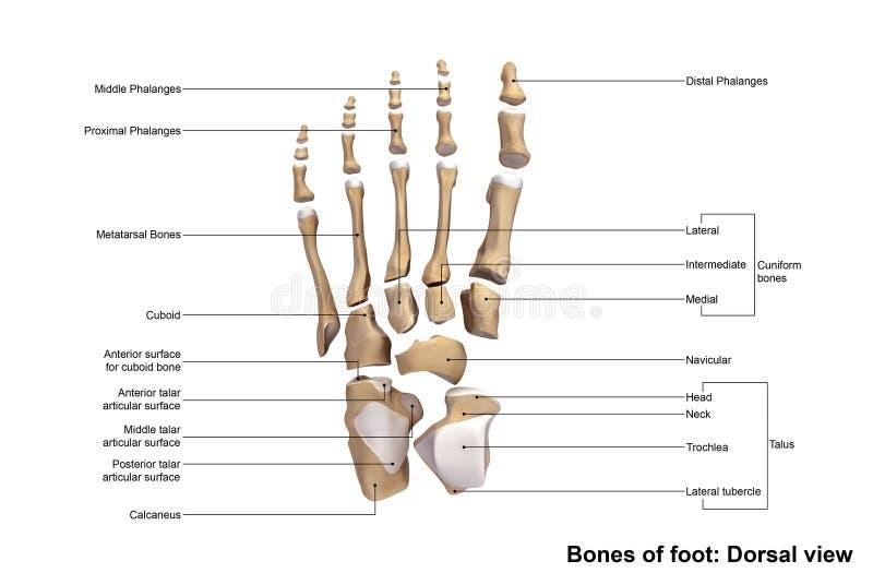 Dorsale Ansicht des Fußes stockbild. Bild von anatomie - 76445017