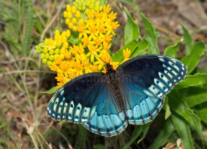 Dorsale mening van mooie blauwe vrouwelijke Diana Fritillary, Speyeria Diana stock afbeeldingen