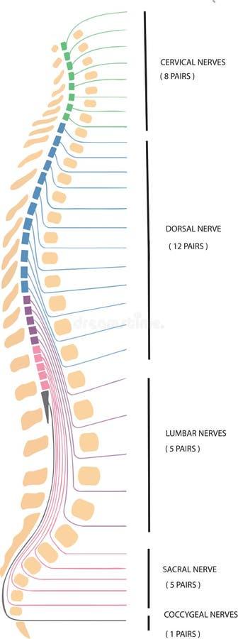 Dorsales Rückgrat der menschlichen Wirbelsäule lizenzfreie abbildung