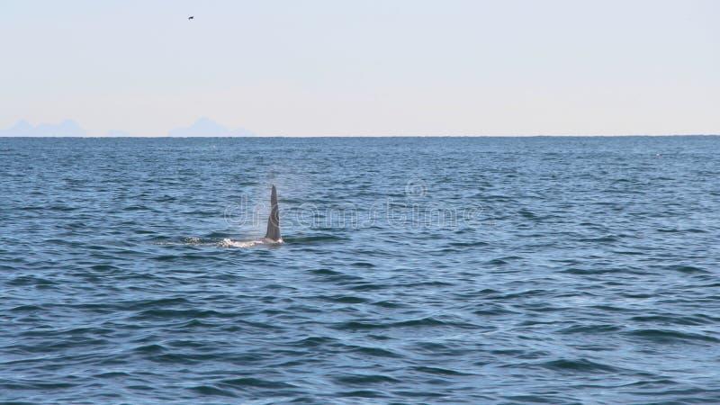 Dorsalny żebro zabójcy wieloryb jest widoczny nad wody ocean spokojny blisko półwysep kamczatka, Rosja zdjęcia stock