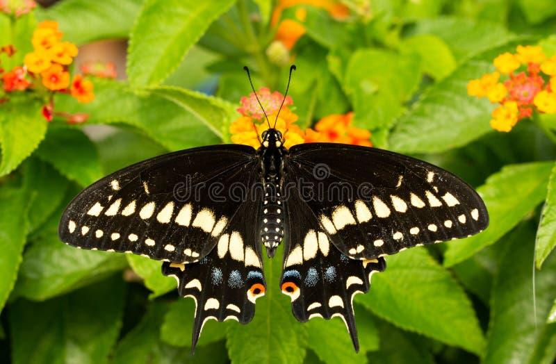 Dorsalny widok Wschodni Czarny Swallowtail motyl fotografia stock