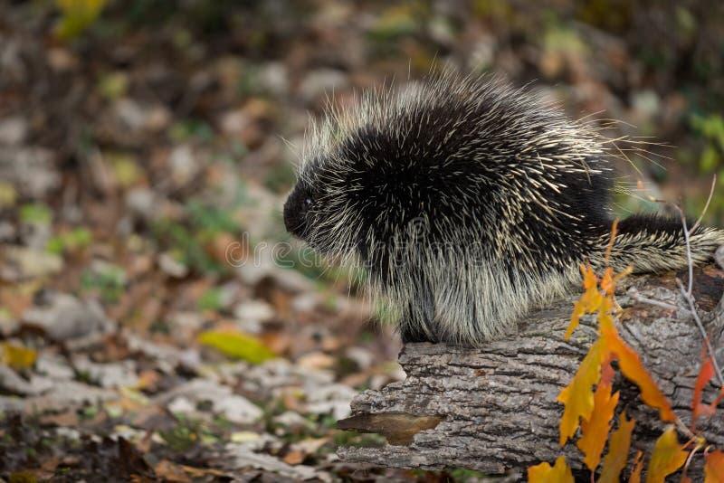 Dorsatum van stekelvarkenerethizon kijkt Linker van boven op Autumn Log stock foto's