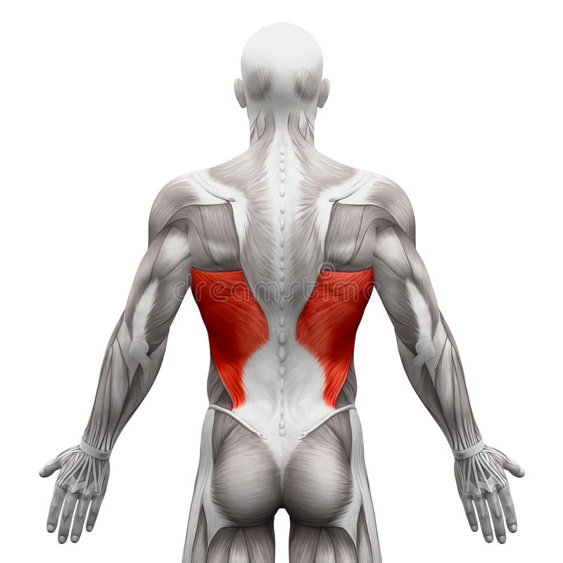 Dorsi de Latissimus - muscles d'anatomie d'isolement sur le blanc - illust 3D illustration de vecteur