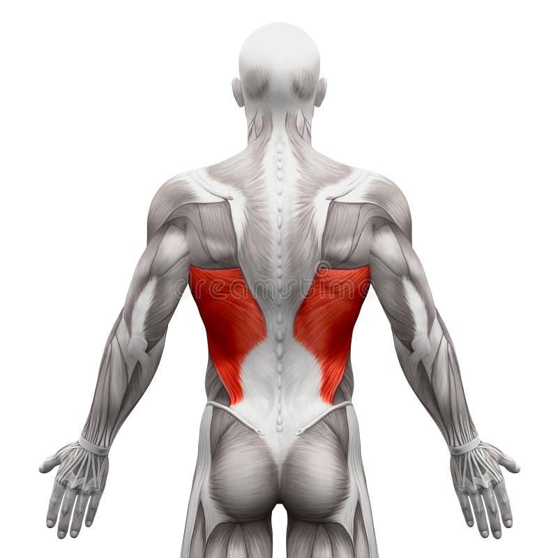 Dorsi di Latissimus - muscoli di anatomia isolati su illust bianco- 3D illustrazione vettoriale