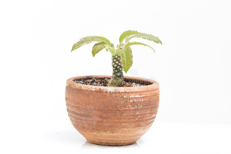 Dorsteria kaktus i krukaträdgårdhem royaltyfri bild