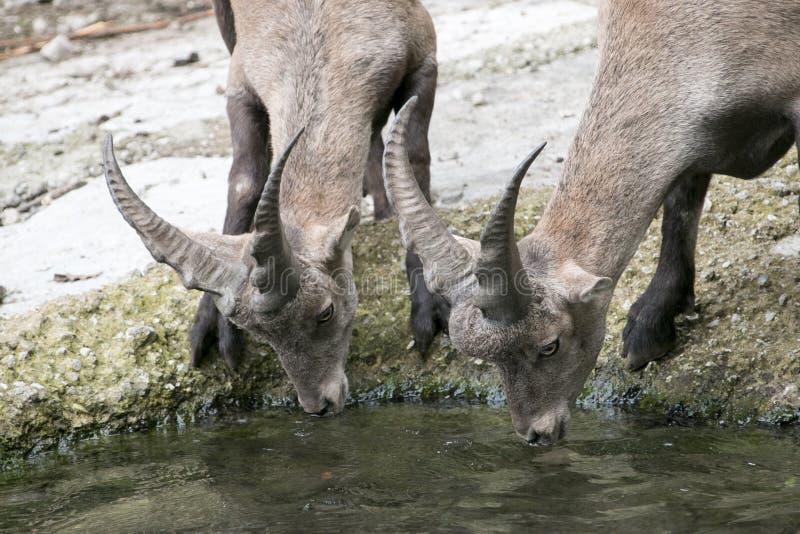 Dorstig deers drinkwater royalty-vrije stock afbeelding