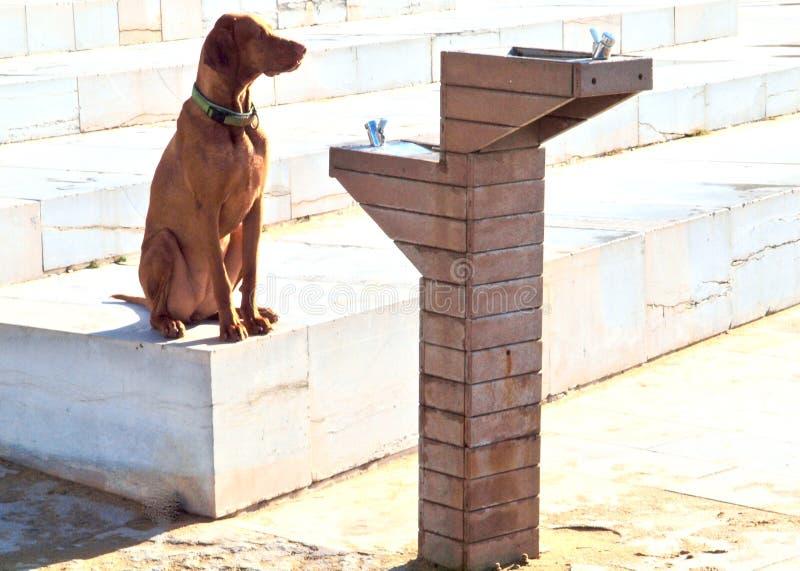 Dorstig Hond drinkwater van een fontein stock afbeelding