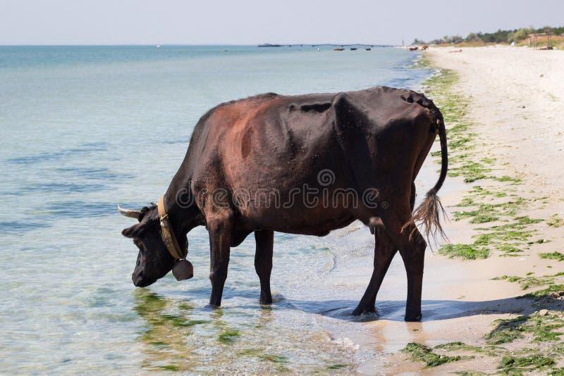 Dorstige binnenlandse landbouwbedrijf rode zwarte koe die op overzees strand drinkwater lopen royalty-vrije stock fotografie