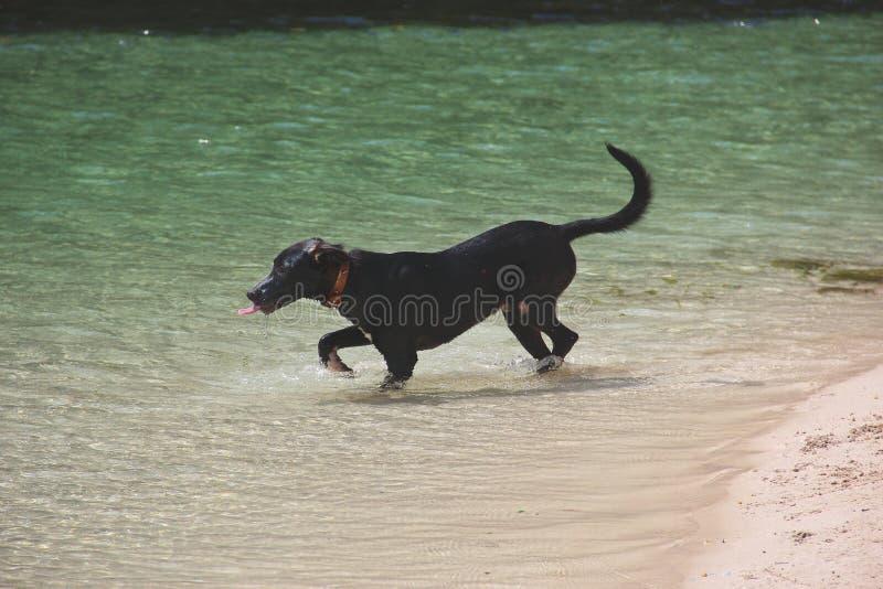 Dorstige hond in de oceaan stock afbeeldingen