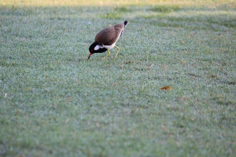 Dorstige vogel die van dauw genieten stock afbeelding