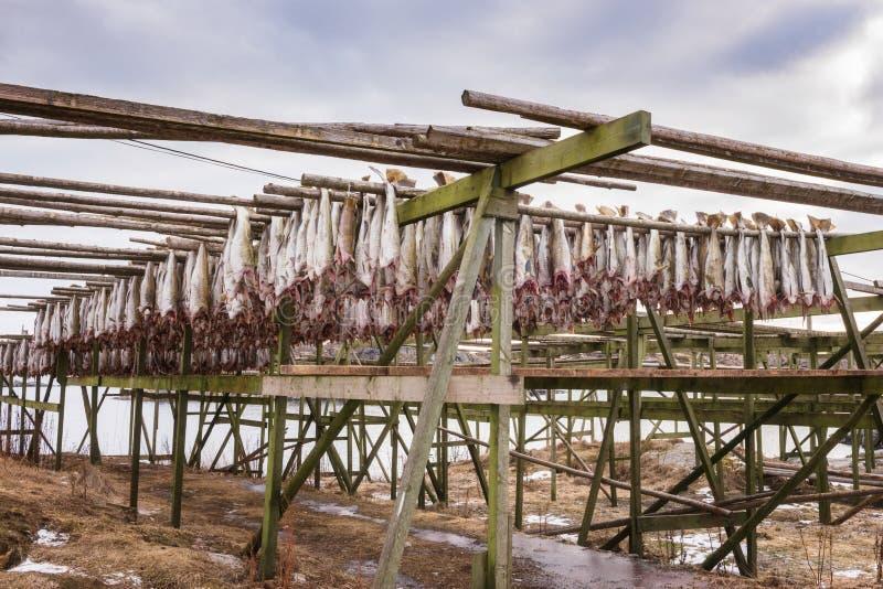 Dorsz ryby codfish osuszka na drewnianych stojakach Sztokfisz od Lofoten, Skrei, Norwegia obraz royalty free