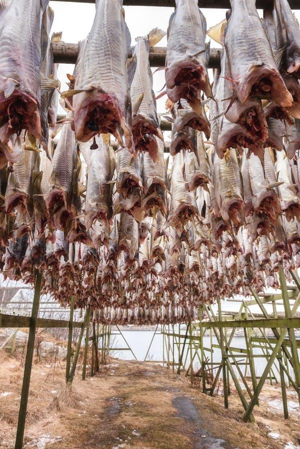 Dorsz ryby codfish osuszka na drewnianych stojakach Sztokfisz od Lofoten, Skrei, Norwegia zdjęcie stock