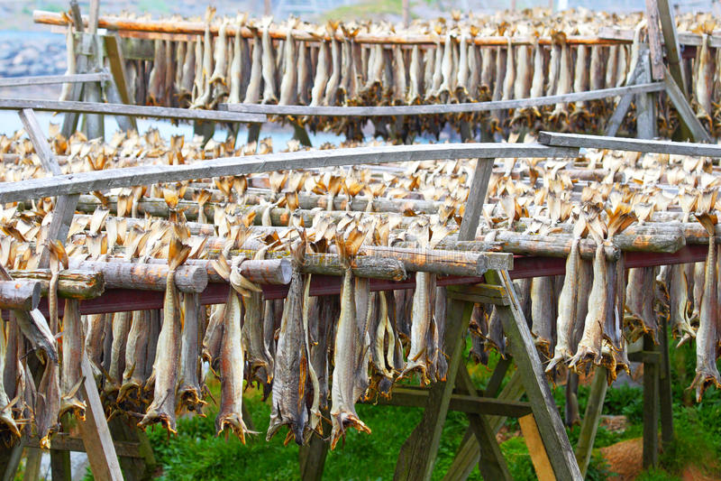 Dorsza sztokfisz Przemysłowy połów w Norwegia fotografia stock