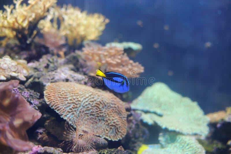 Dory fish or blue tang fish stock image