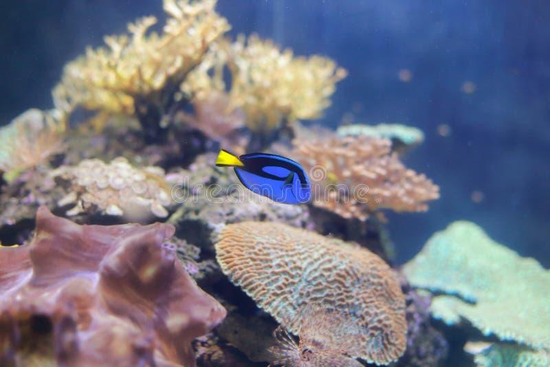 Dory (fish) royalty free stock photos