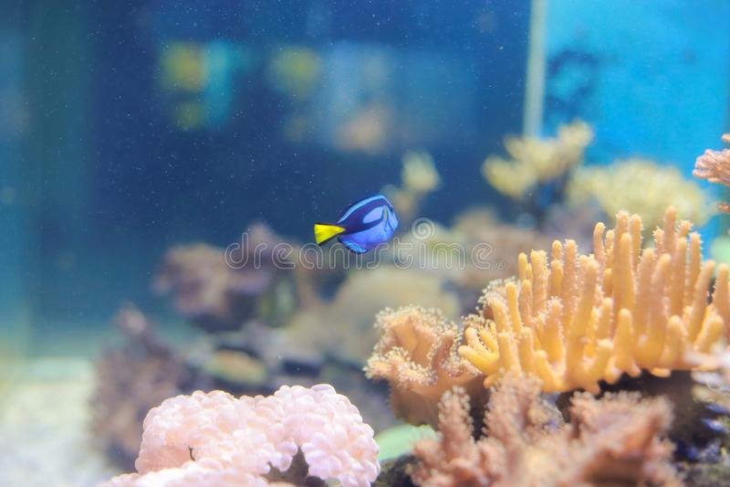 Dory (fish) royalty free stock images