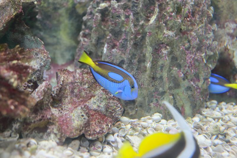 Dory (fish). The common name dory is shared (officially and colloquially) by members of several different families of large-eyed, silvery, deep-bodied, laterally royalty free stock photos