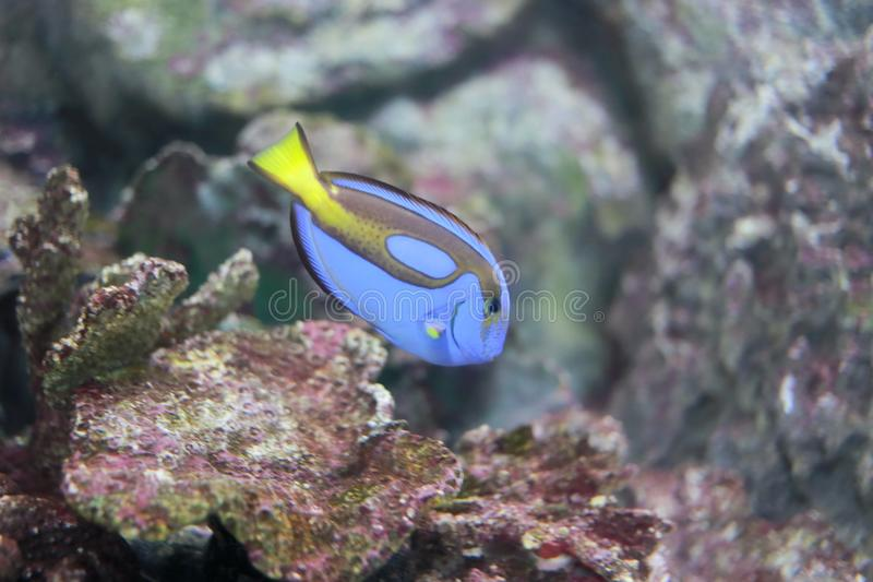 Dory (fish). The common name dory is shared (officially and colloquially) by members of several different families of large-eyed, silvery, deep-bodied, laterally stock photography
