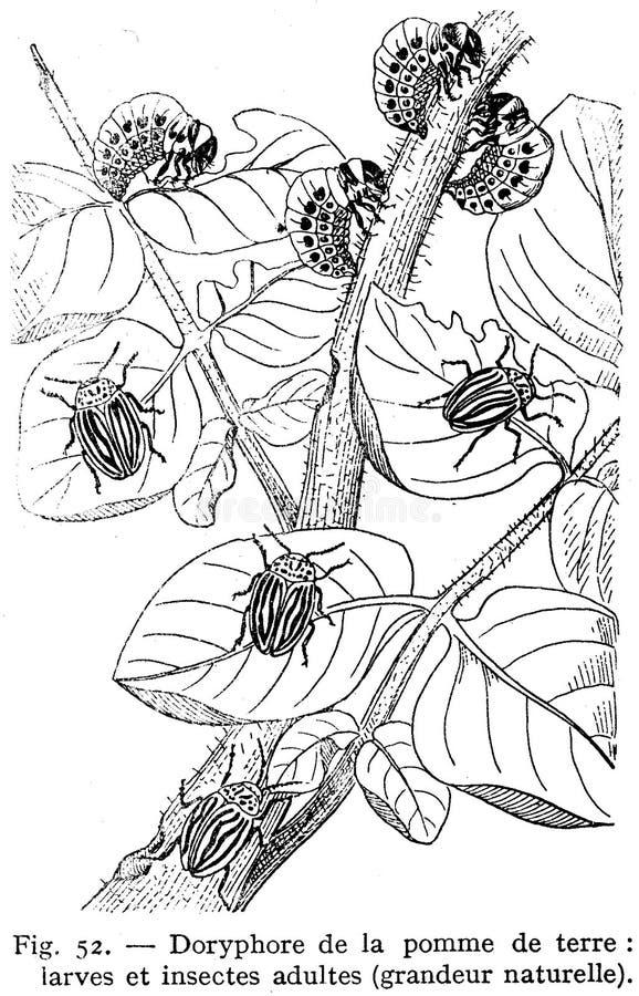Doryphores Free Public Domain Cc0 Image