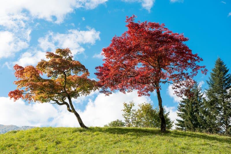 Dos árboles con colores hermosos de la caída fotografía de archivo libre de regalías
