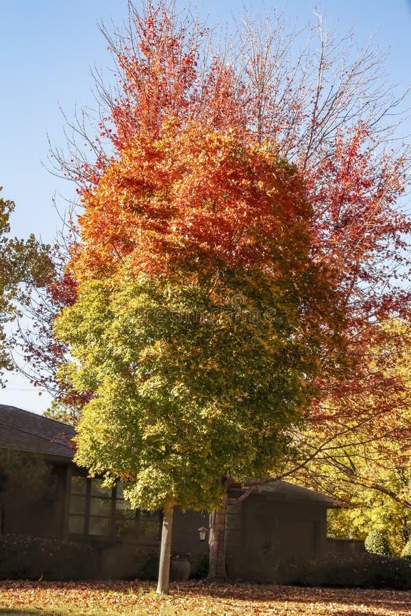 Dos árboles con las hojas de otoño que miran como una llama con rojo el superior y verde la parte inferior delante de la casa osc imagen de archivo