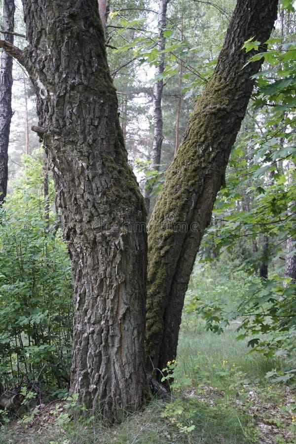 Dos árboles de abedul enormes viejos en un bosque de hojas caducas los bordes del árbol se cubren con el musgo y el liquen Primav fotografía de archivo libre de regalías