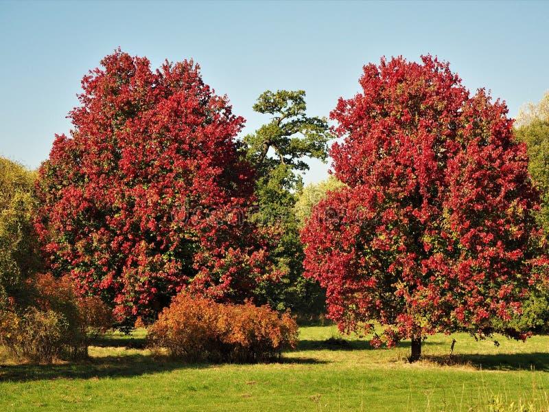 Dos árboles de arce con follaje rojo hermoso en otoño imagen de archivo