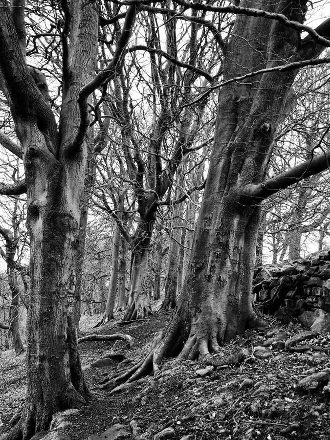 Dos árboles de haya en invierno en el bosque de la jerarquía de cuervo fotografía de archivo