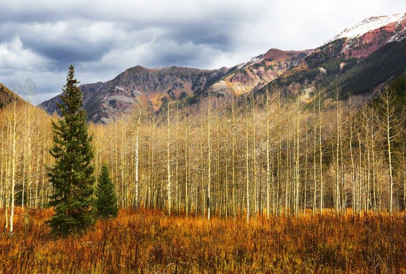 Dos árboles de hoja perenne y álamos tembloses fotografía de archivo libre de regalías
