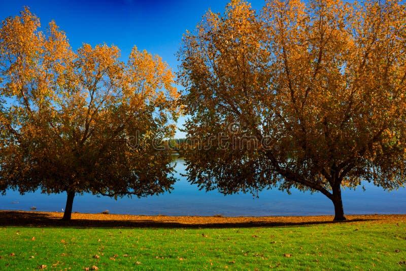 Dos árboles grandes en color de la caída en Riverbank imagen de archivo