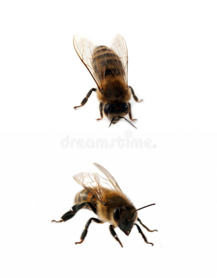 Dos abejas aisladas imágenes de archivo libres de regalías